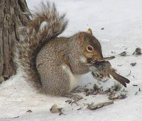 This squirrel ran out of nuts and decided to eat a bird....