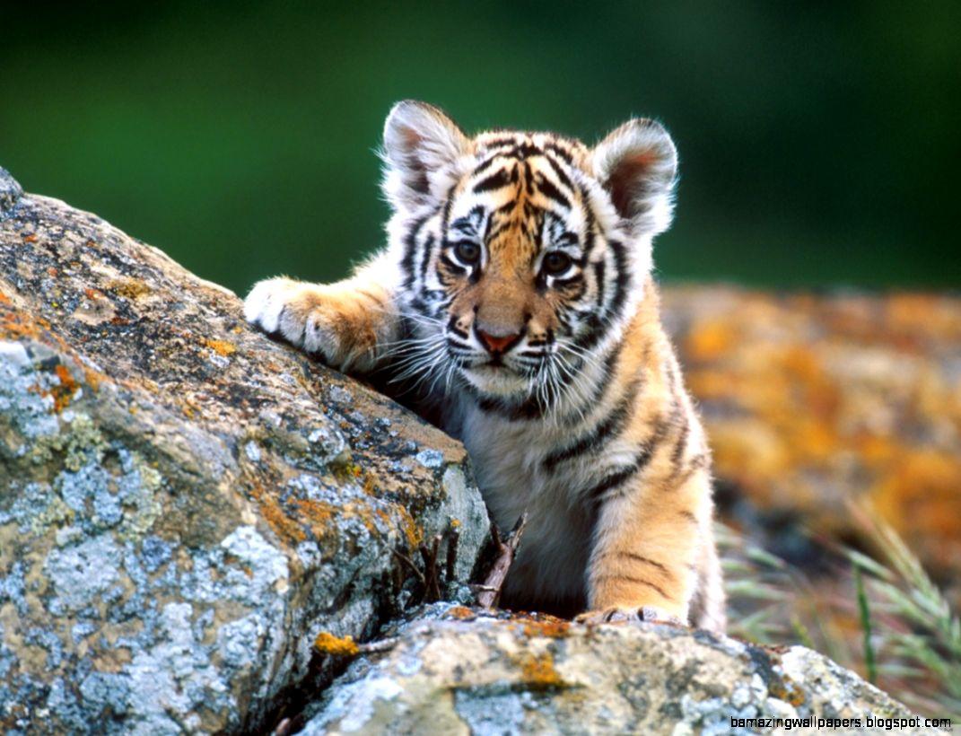 Tiger Cub HD desktop wallpaper  High Definition  Fullscreen  Mobile