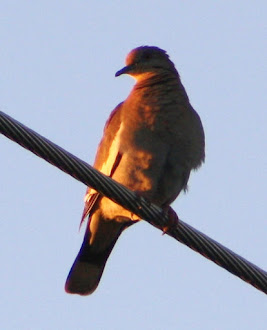 White winged dove watching the sun set.