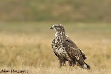2012-ben az év madara az egerészölyv
