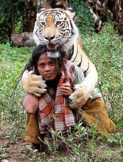 Gambar Harimau - Hewan Buas