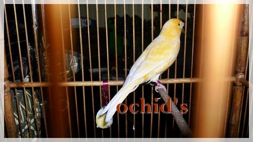 ocdf   ternak murai batu dan lovebird koleksi kenari