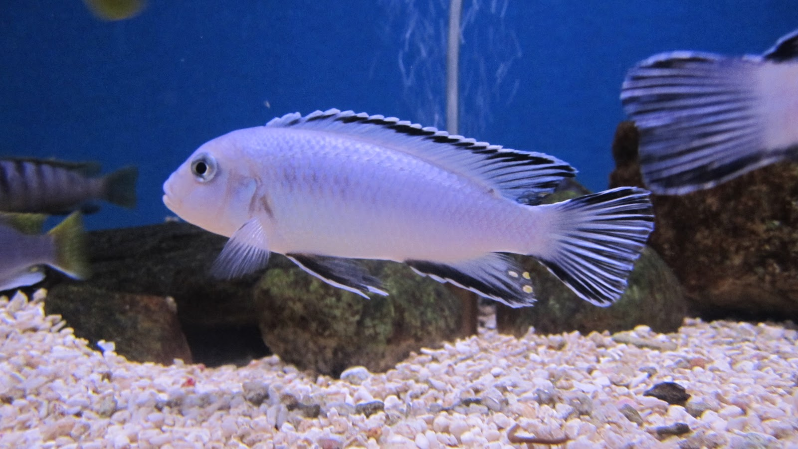 Mal tang fish african cichlids misplaced pics 8 31 12 for African cichlid fish