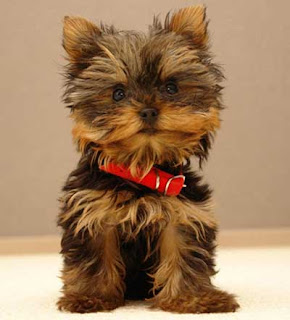 Cutest Dog Breeds In The World yorkshire terriers