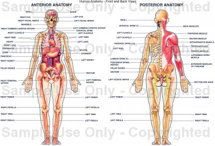Ultrasware Anterior And Posterior View Of Human Body