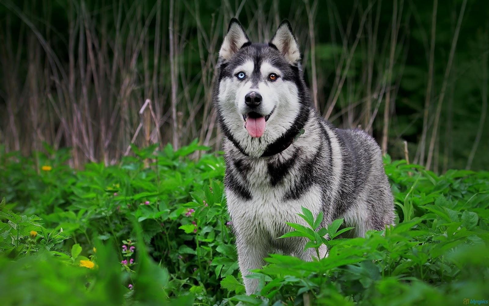http://3.bp.blogspot.com/-FHSegW_nCGw/T_Mtg9gVe7I/AAAAAAAACMg/SxDvPGZF9vM/s1600/husky_dog_in_green_forest-2560x1600.jpg