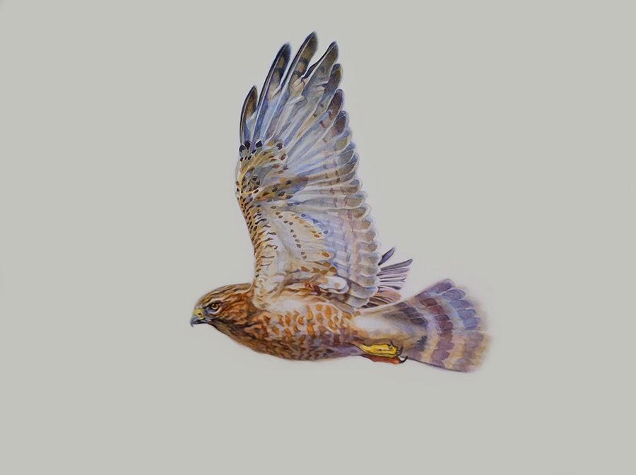 Hawk Migration Notes 2013