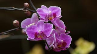 Purple Orchid HD Flower Wallpaper