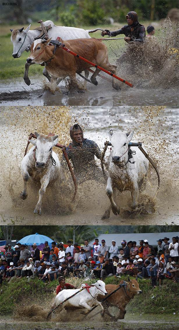 perlumbaan lumba lembu di sawah padi indonesia1