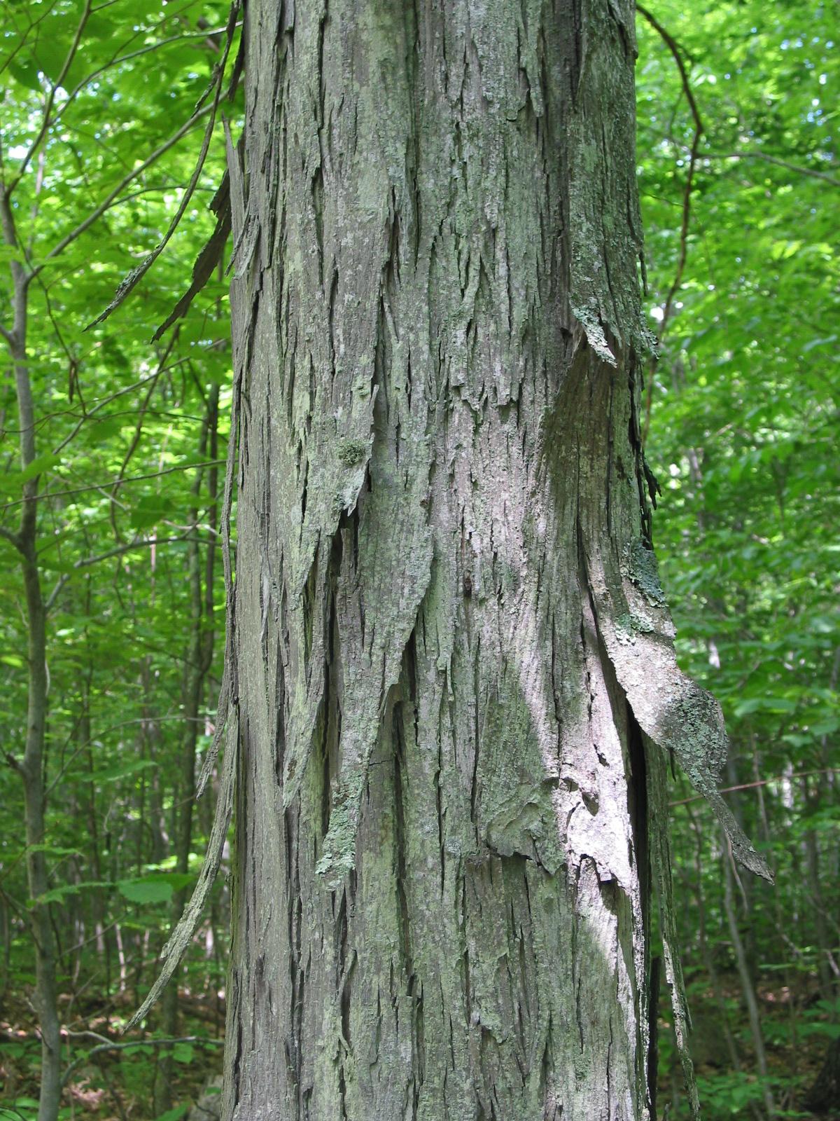 Spicebush log bark