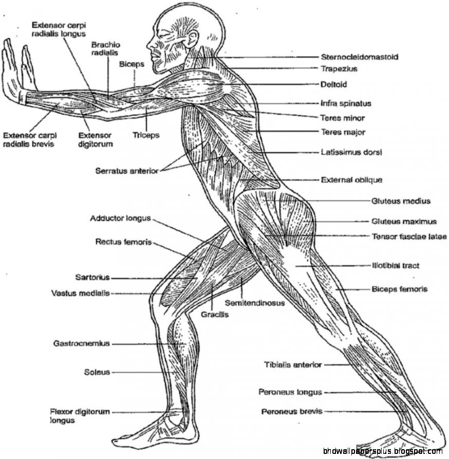 view original size anatomy and physiology coloring workbook answers - Anatomy And Physiology Coloring Book