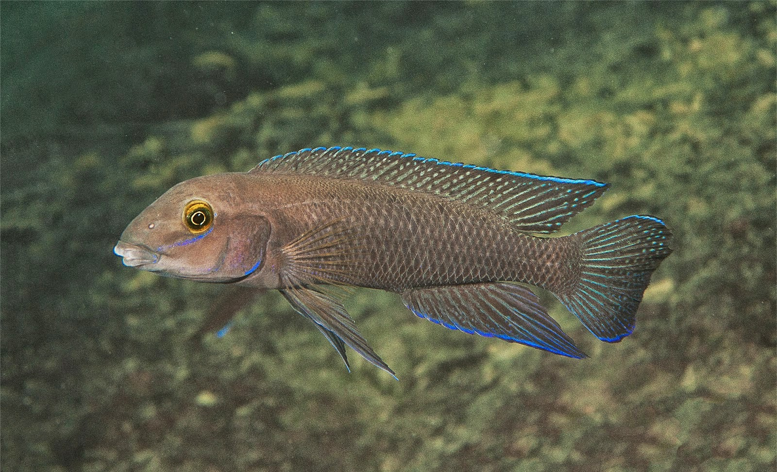 http://sciencythoughts.blogspot.co.uk/2014/05/a-new-species-of-cichlid-fish-from-lake.html