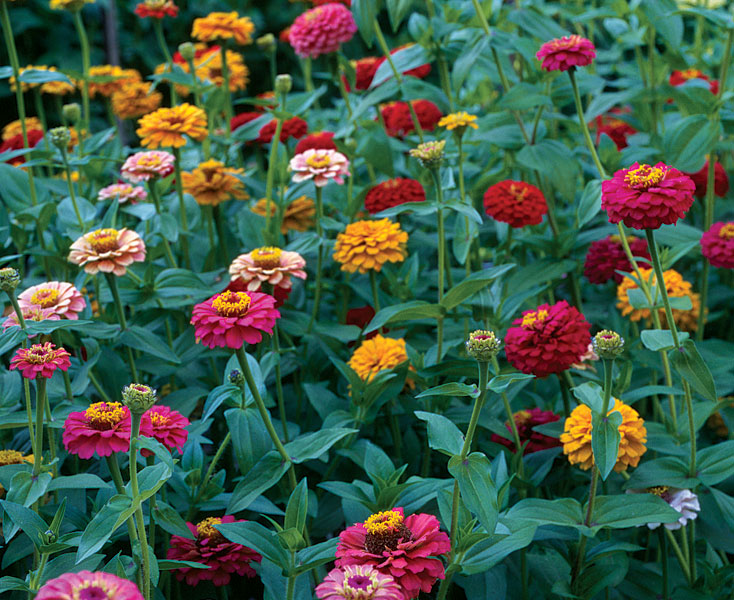 how to take care of zinnia flowers