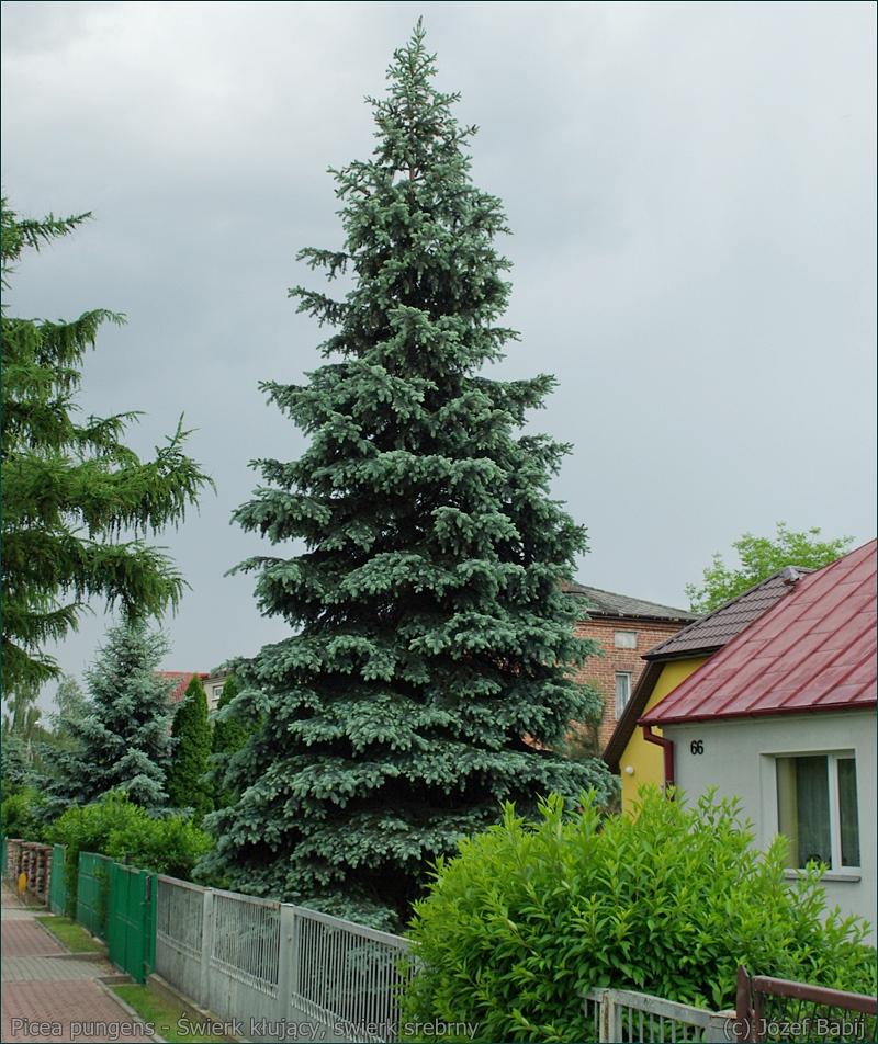 Picea pungens - Świerk kłujący, świerk srebrny