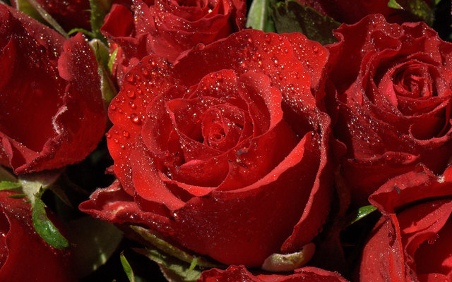 Hình ảnh hoa hồng đẹp và lãng mạn