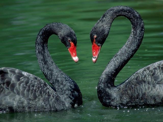 красивые фото лебедей