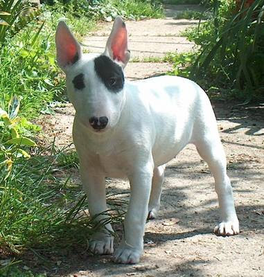Bull Terrier Puppies on Bull Terrier Puppies Pictures