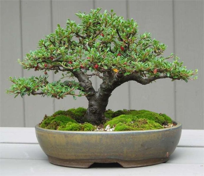 selecting the right bonsai pots is very important. Black Bedroom Furniture Sets. Home Design Ideas