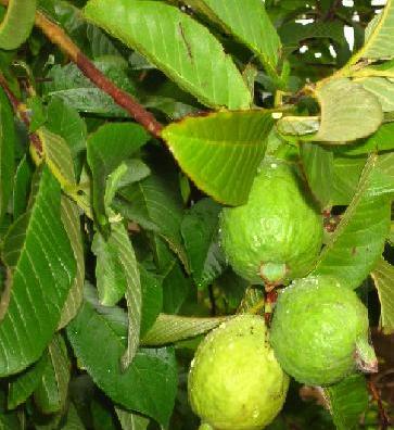 अमरुद फल के गुण फायदे और उपयोगिता
