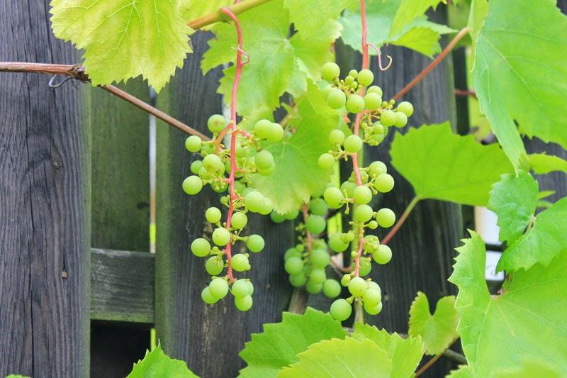 Grappolo d'uva, 7 agosto 2014