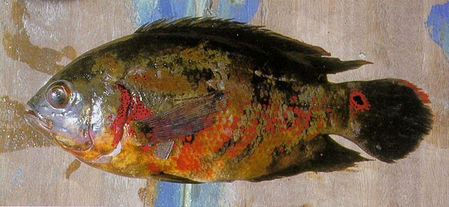 Artes de pesca los cichlidae 5 for Estanques de peces ornamentales