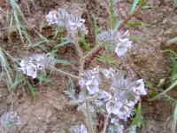 Phacelia on Oak Canyon Trail, Griffith Park