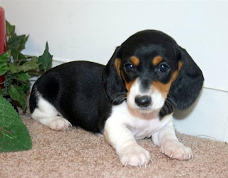 Dachshund Puppy Pictures