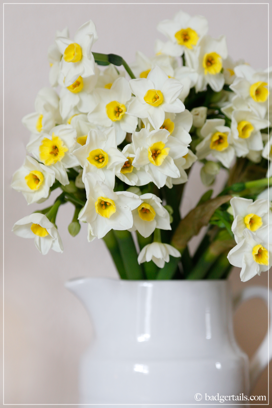 Narcissus in White Milk Jug