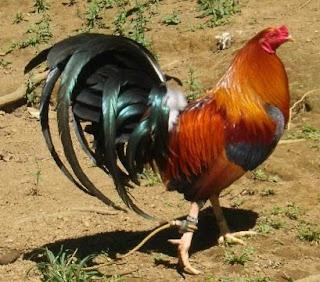Gallos - Los mejores resultados de bsqueda Gay - O-BE