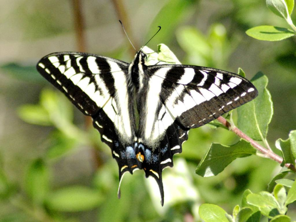Black and White Butterfly | Animals Wallpapers