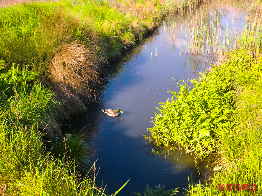 pato nadando en el humedal de la zona de las huertas de hondarribia