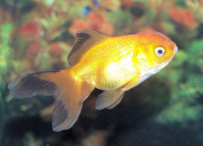 goldfish online