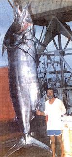 Ikan Marlin (Tuna) terbesar di dunia (tertangkap di Hawaii)