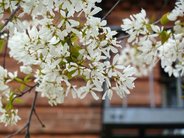 Amelanchier blossoms on a New York City street tree