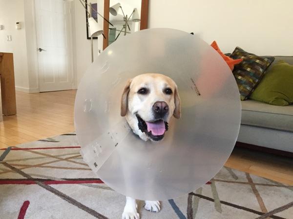Labrador Cooper Cone of Shame
