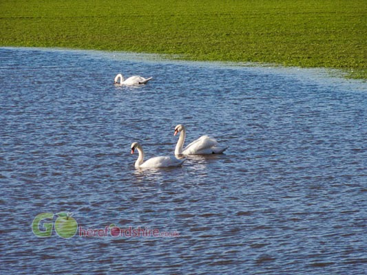 Swans at Symonds Yat on Flooded Fields