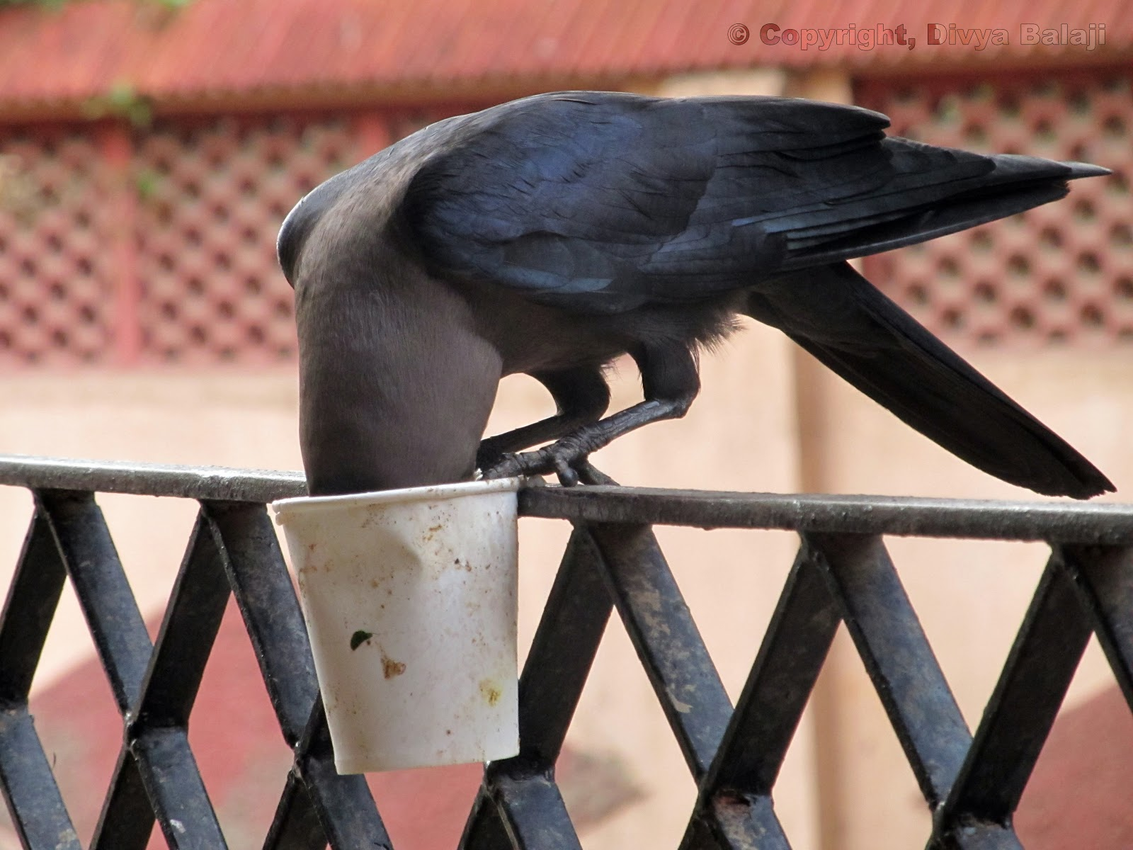 crow feeding from the cup which it is holding in its claws