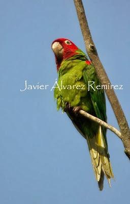 Aratinga de Guayaquil: Aratinga Psittacara  erythrogenys