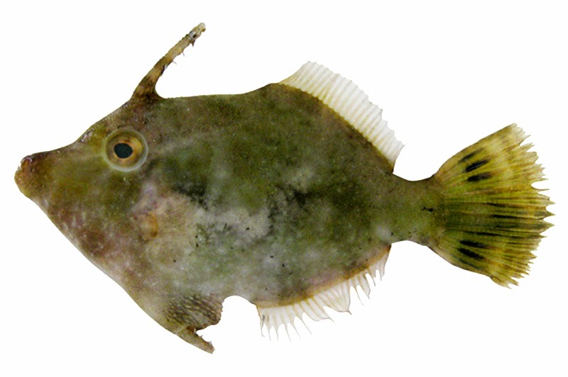 Leatherjacket fish fishes world hd images free photos for Leather jacket fish