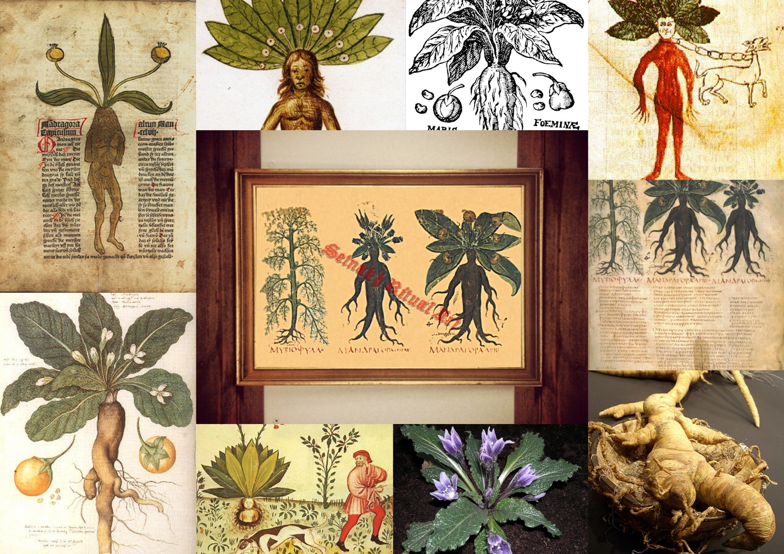 Mandrake Print Witch Plant Illustration Mandragora Poster Occult Print Witch Home Decor Magick Print Kitchen Wall Decor Herbs