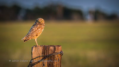 Burrowing Owl in the Black Hills of South Dakota taken by Dakota Visions Photography LLC