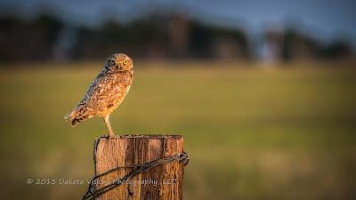 Burrowing Owl in the Black Hills of South Dakota taken by Dakota Visions Photography LLC