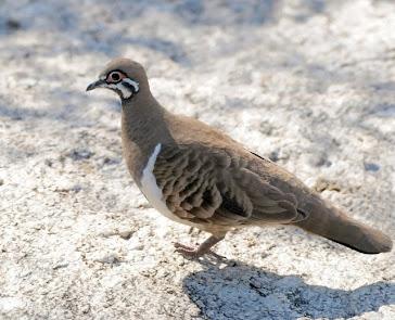 Squatter Dove