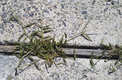 Nature's Avenger kills crab grass in cement joint.