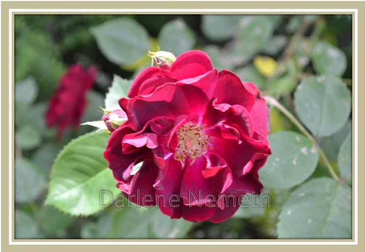 dark red floribunda, roses