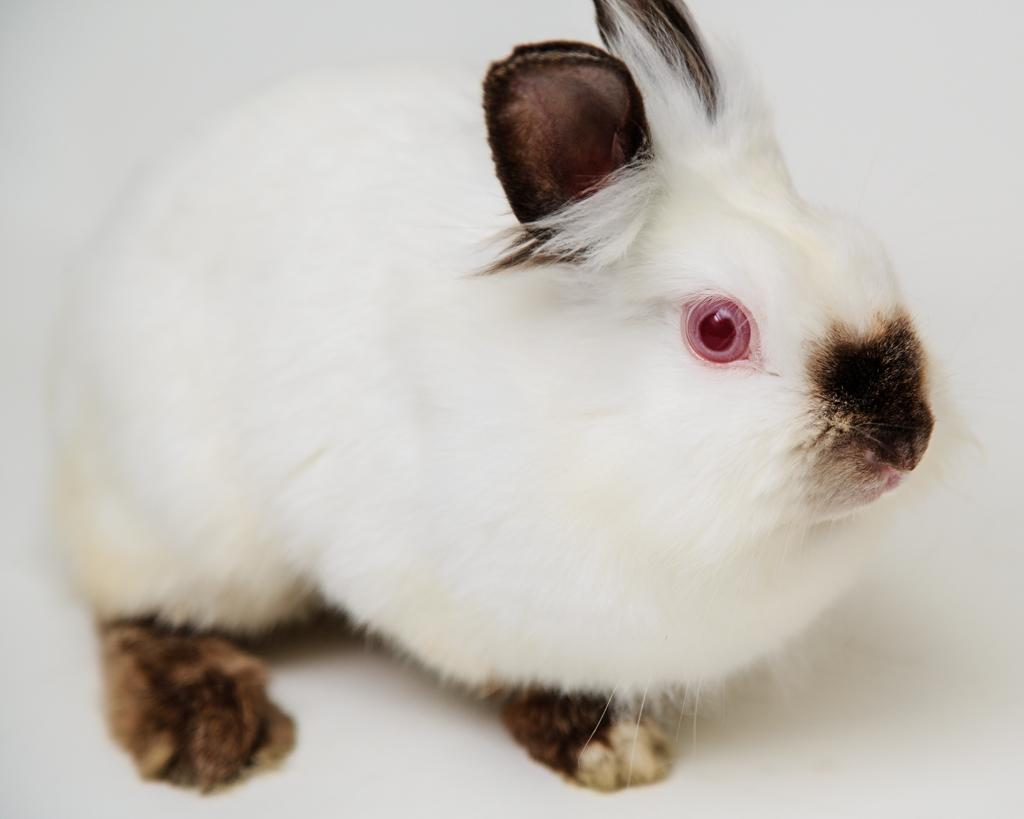 Himalayan Lionhead rabbit