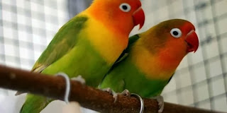 merawat lovebird