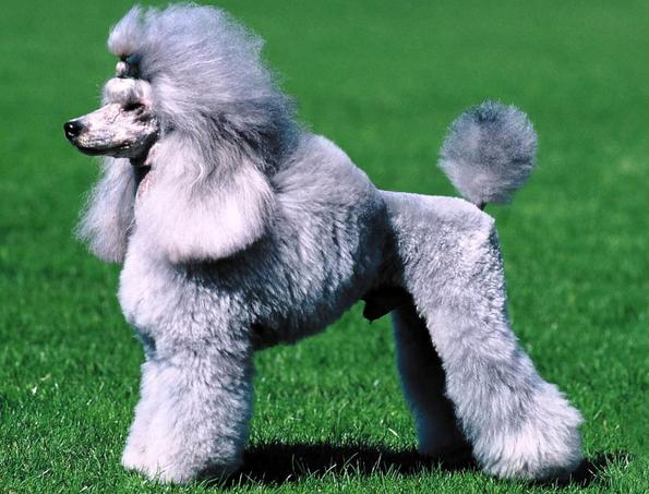 Fotos del perro pudul - Imagui