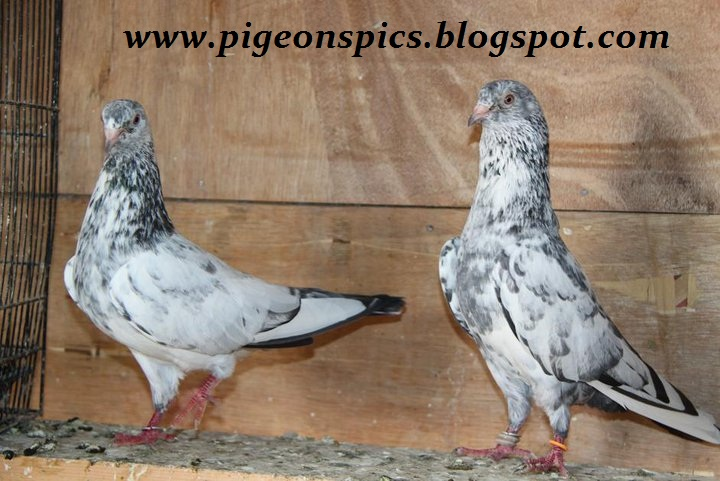 the bothersome beauty of pigeons The curious researcher the bothersome beauty of pigeons the bothersome beauty of pigeons in the essay, the bothersome beauty of pigeons, bruce ballenger initially compares the street vendors in one of florence's piazzas to.