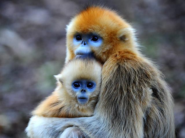 Macaco de rosto azul